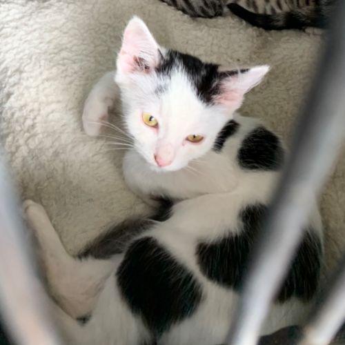 Bubba - Domestic Short Hair Cat