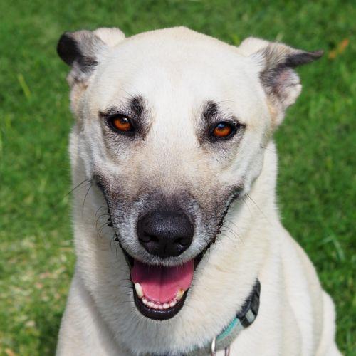 Bundy - Belgian Shepherd - Malinois x Husky Dog