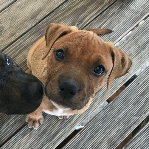 Pierre - Staffordshire Bull Terrier x American Staffordshire Bull Terrier Dog