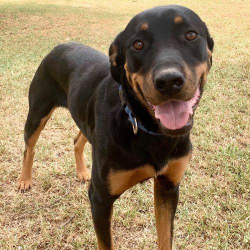 Ella! - Rottweiler x Labrador Dog