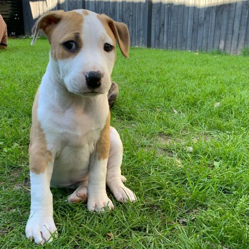 Leah - Staffordshire Bull Terrier x Bull Terrier Dog
