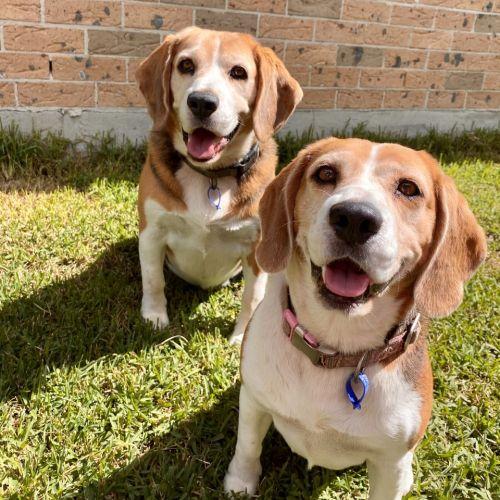 Opie & Daisy ~ 7 & 8yr Old Beagles