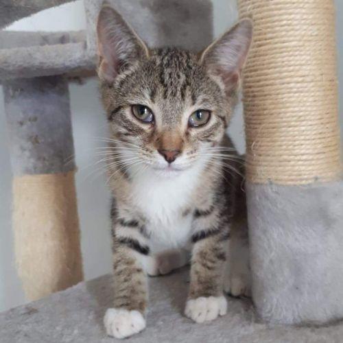 Alby  - Domestic Short Hair Cat