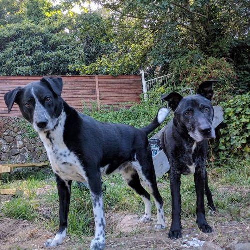Kobi and Chloe Adderley - Staffy x Labrador Dog