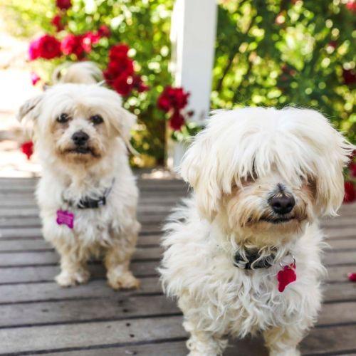 Zoey & Ziba - Maltese Dog