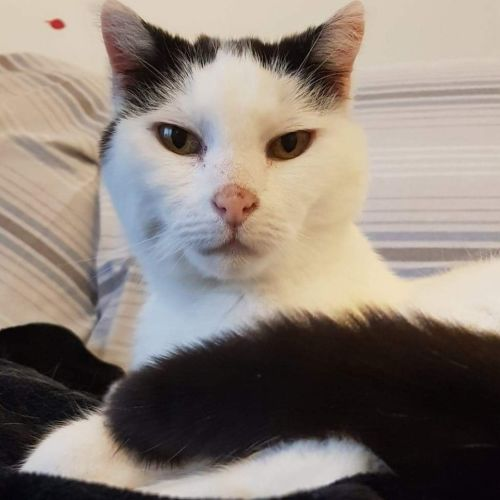 Daisy -  Located in Brunswick East - Domestic Short Hair Cat