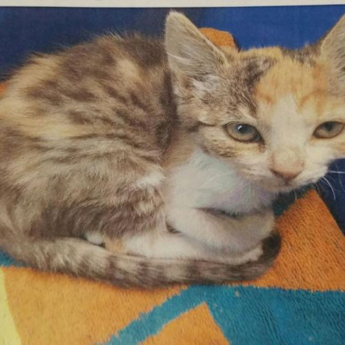 Twinkle  - Domestic Short Hair Cat