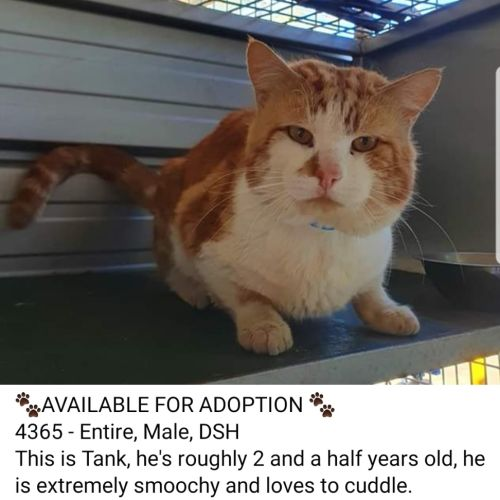 Tank  - Domestic Short Hair Cat