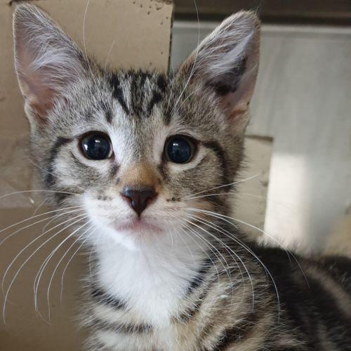 Scorpio - Domestic Short Hair Cat