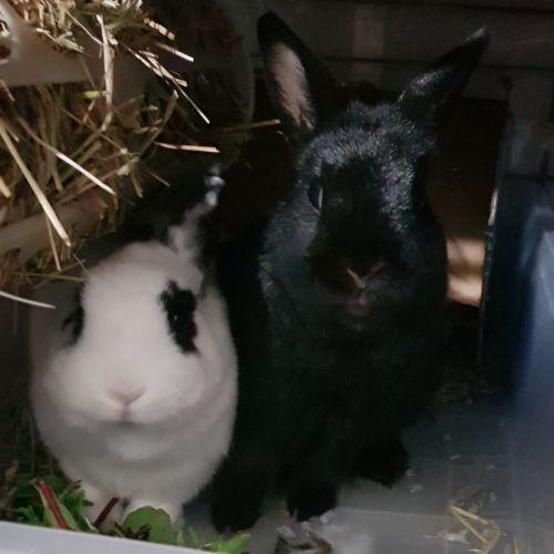 Phantom & Aria - Netherland Dwarf Rabbit