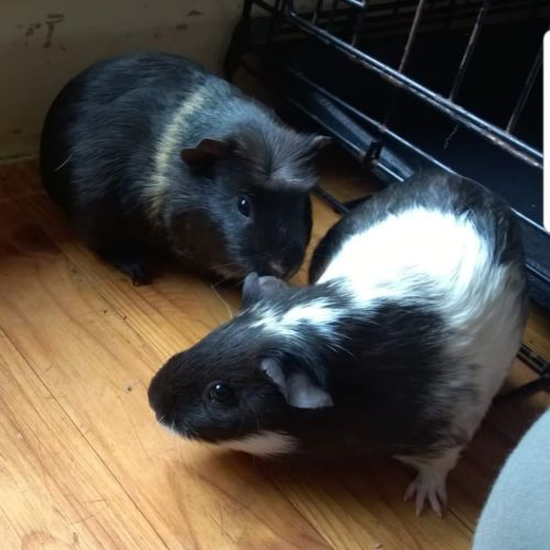 Winnie and Lizzie  -  Guinea Pig