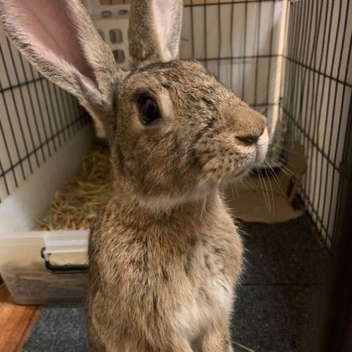 Din Din & Nala - Flemish Giant Rabbit