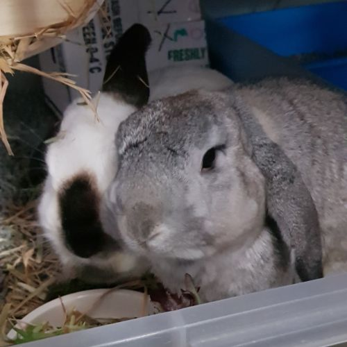 Dusty & Miffy - Dwarf lop Rabbit