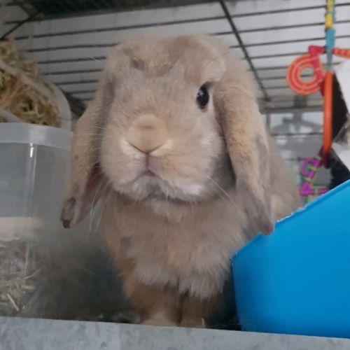 Mervin - Dwarf lop Rabbit