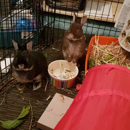 Bean & Taco - Netherland Dwarf Rabbit