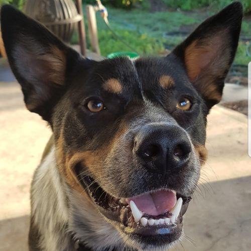 Diesel ~ 14 month old Cattle Dog X Kelpie - Kelpie x Australian Cattle Dog