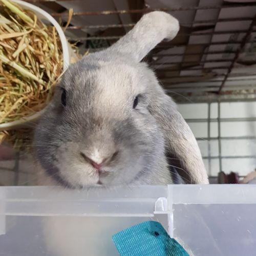 Rachel - Lop Eared Rabbit