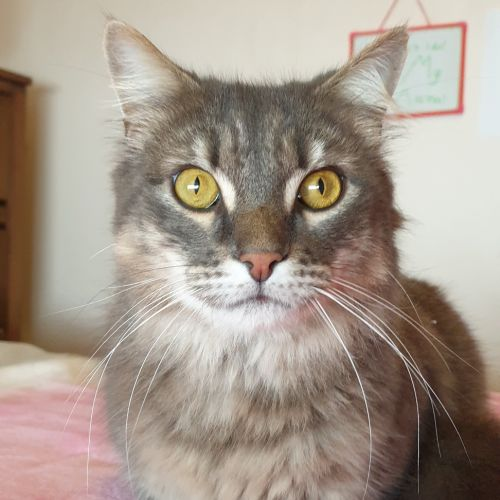 Lucky **2nd Chance Cat Rescue** - Domestic Medium Hair Cat