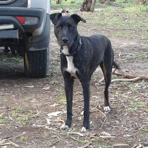Layla - Wolfhound Dog