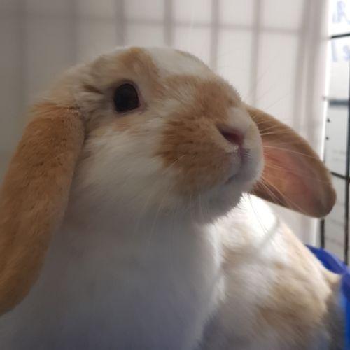 Ginger ninja - Dwarf lop Rabbit