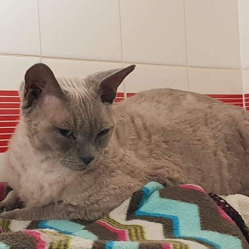 Peter - Devon Rex Cat