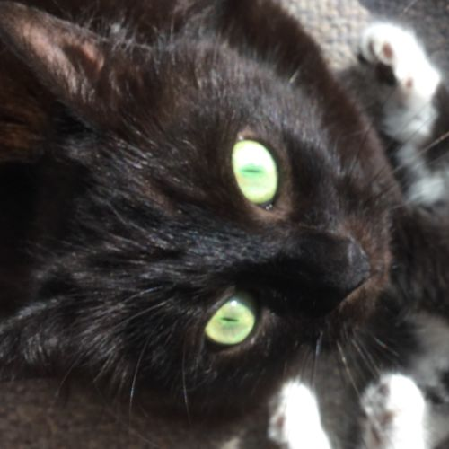 Sonny - Domestic Medium Hair Cat