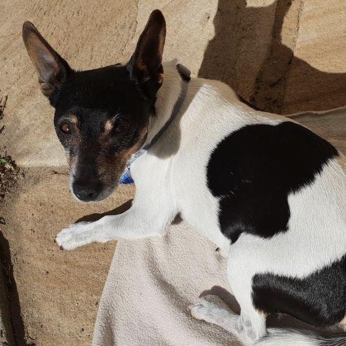 Ben - Jack Russell Terrier Dog
