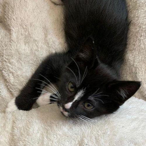 Winston ^Dandy Cat Rescue^ - Domestic Short Hair Cat