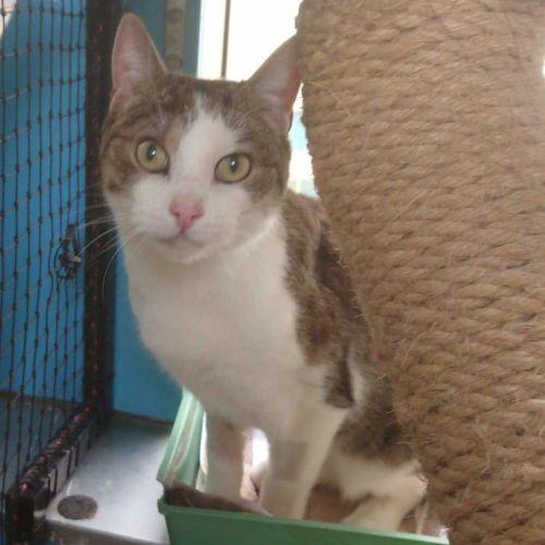 Jacie - Domestic Medium Hair Cat