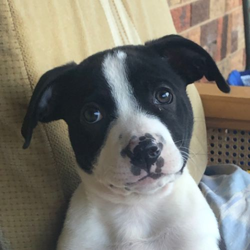 BullDozer - Border Collie Dog