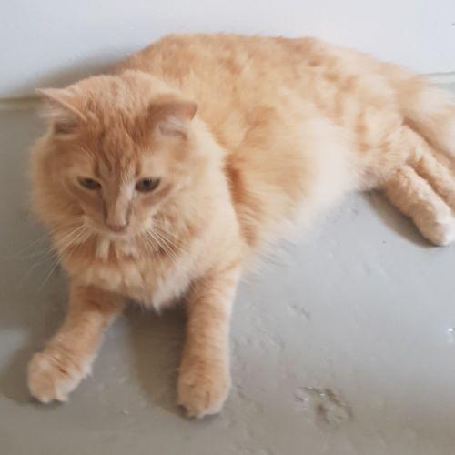 Archie - Domestic Long Hair Cat