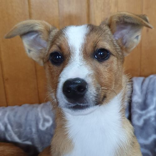 Toohey - Jack Russell Terrier Dog