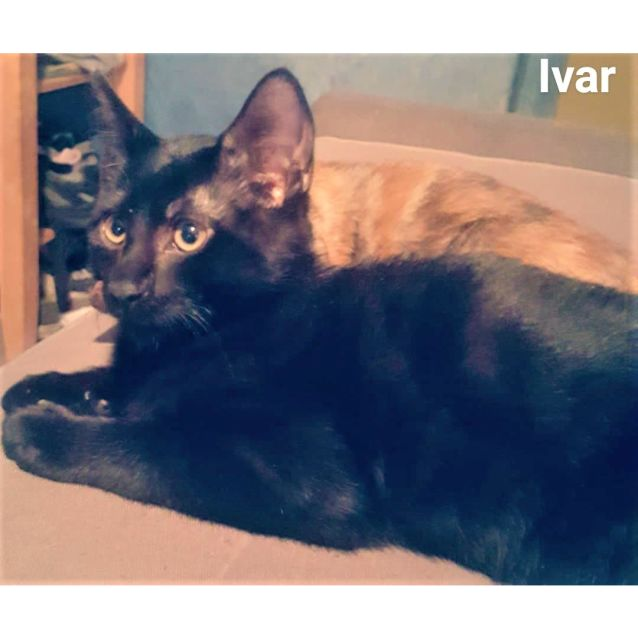 Photo of Ivar (Bonded Pair  On Hold Adoption Fee Paid)