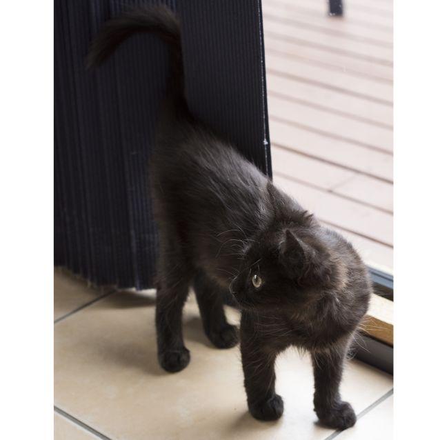 Photo of Vixen **2nd Chance Cat Rescue**