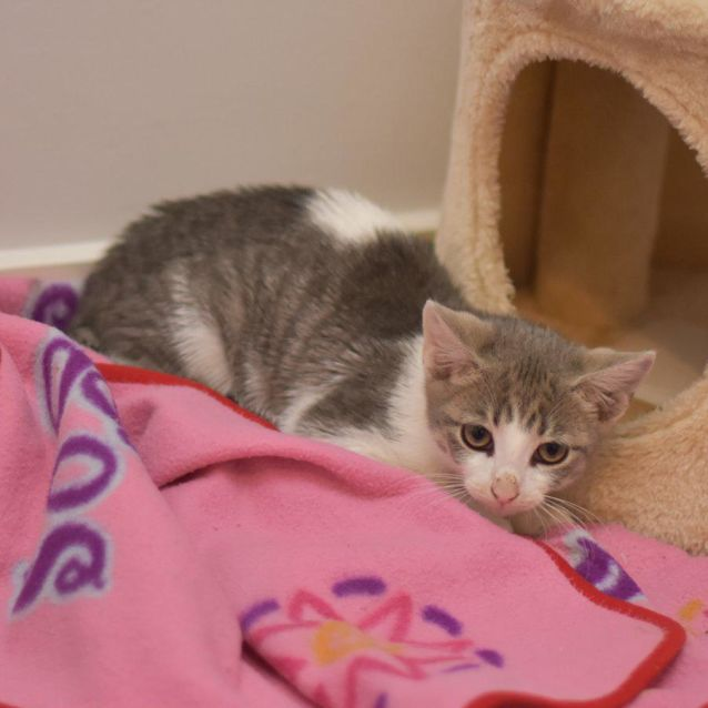 Photo of Blanc De Blanc **2nd Chance Cat Rescue**