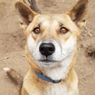 Django Dingo