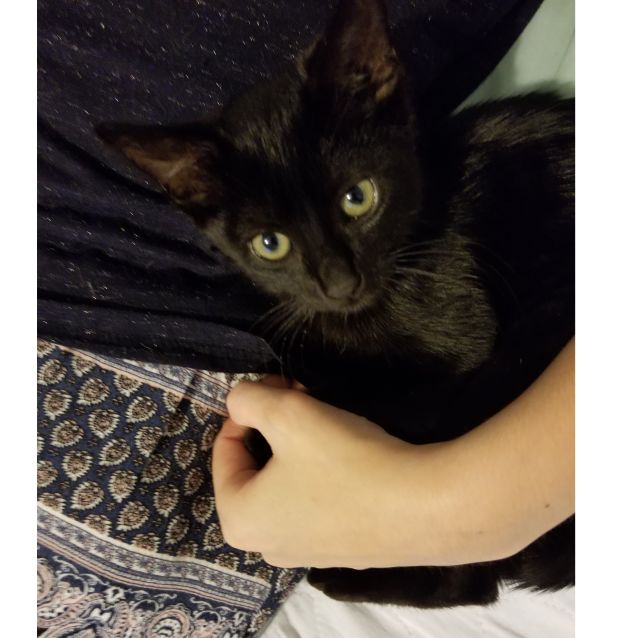Photo of Bombay ***2nd Chance Cat Rescue***