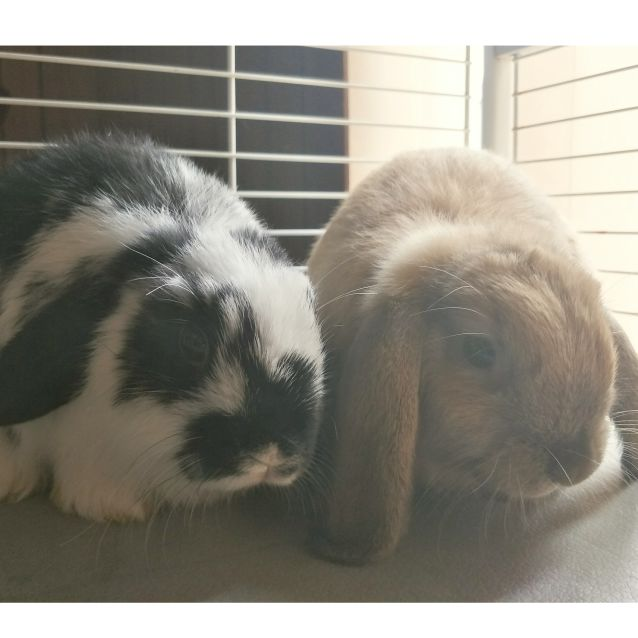 Photo of 2 Standard Lop Babies