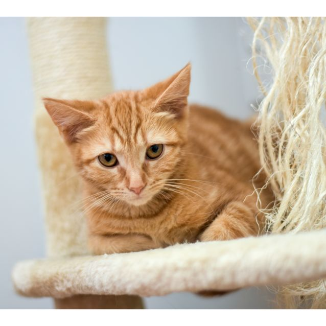 Photo of Clove  ***2nd Chance Cat Rescue***