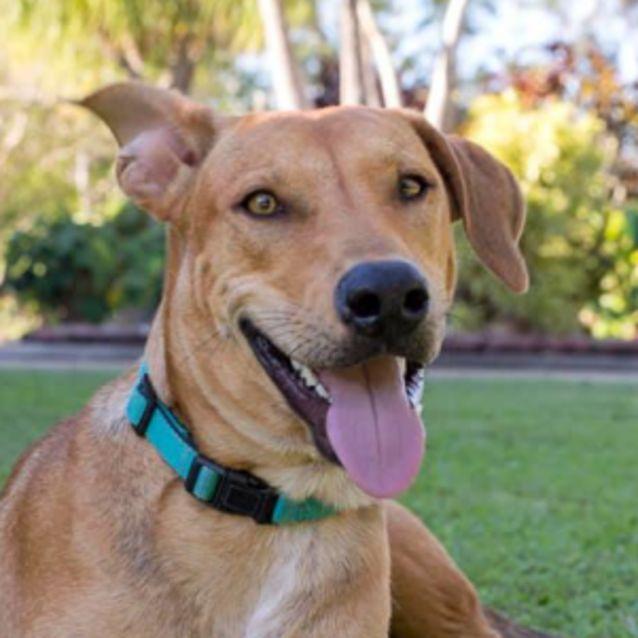 Buster - Medium Male Australian Cattle Dog Mix Dog in QLD - PetRescue