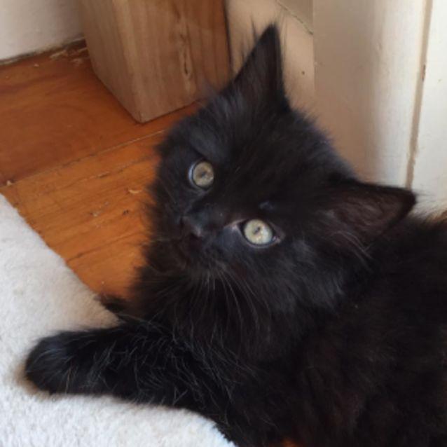 Photo of Gus ^^Dandy Cat Rescue^^