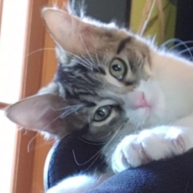 c7442d359 Spiro Del Rio - Male Domestic Short Hair Cat in VIC - PetRescue