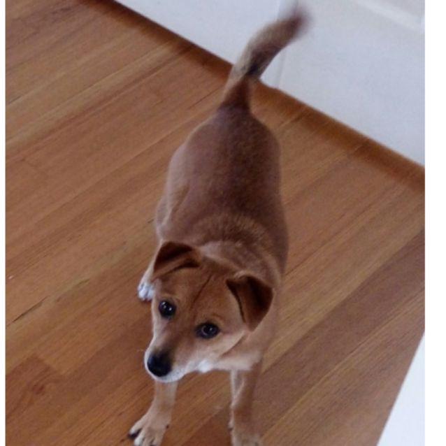 Geoffrey Merriville Small Male Jack Russell Terrier X Pomeranian