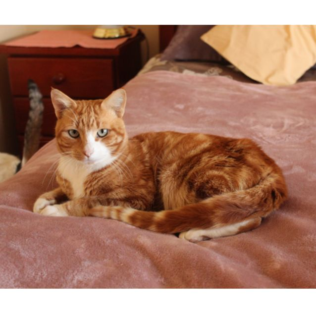 Photo of Bundy **2nd Chance Cat Rescue**