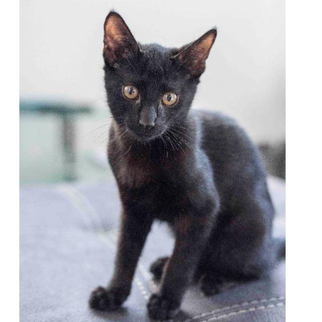 Photo of Adventure Spook Kitty   Mc0082 *Adoption Pending