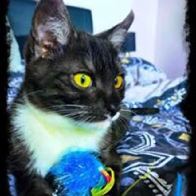 Photo of Takiwa.  Cat Adoptions Discounted For September!