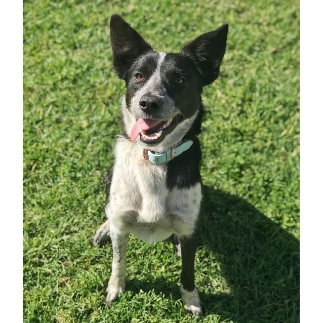 Photo of Tillie ~ Beautiful Kelpie X Girl (On Trial 21/9/18