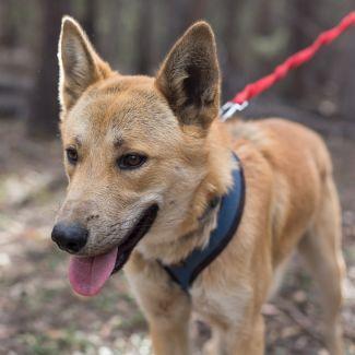 Pluto Dingo X