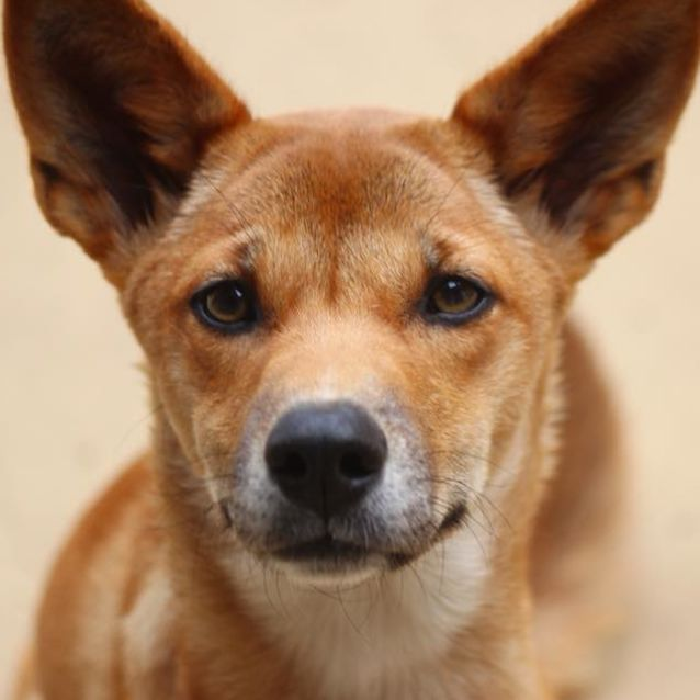Photo of Apple  Dingo