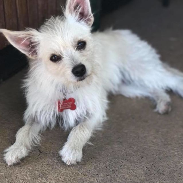 Cindy Small Female Chihuahua X Maltese Mix Dog In Vic Petrescue